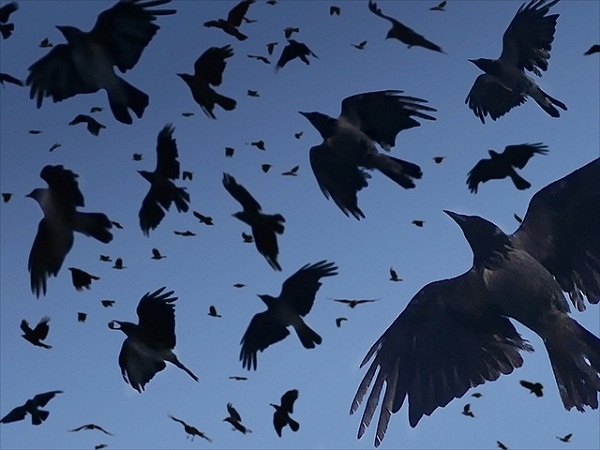 Crow Flying Over Head crows-in-flight